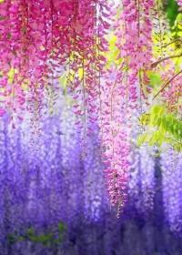 那年紫薇花正浓 作者:鲲鹊