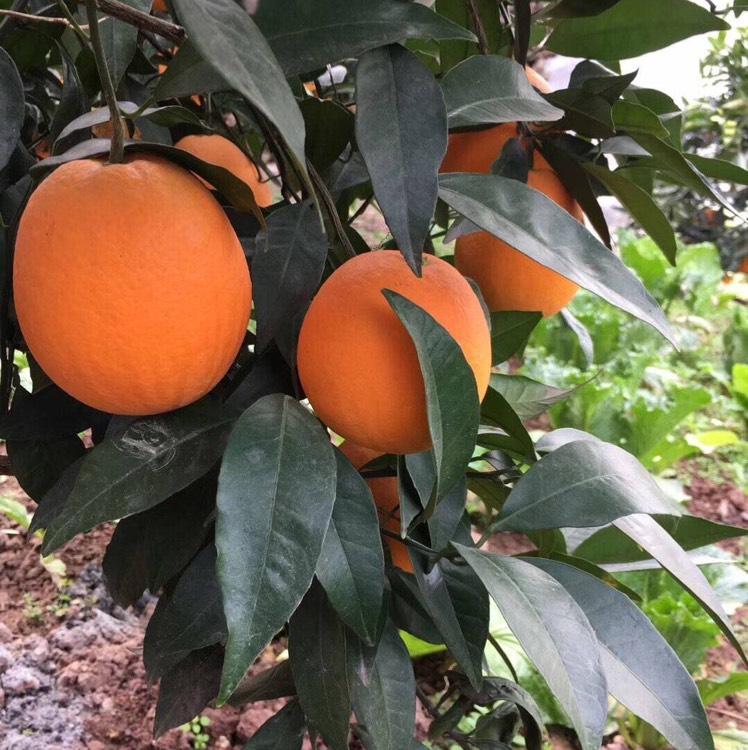 🍊橙*灵儿-卖秭归脐橙